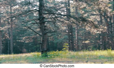 Pine Forest and Trees in Summer with Rotation. Pine forest...