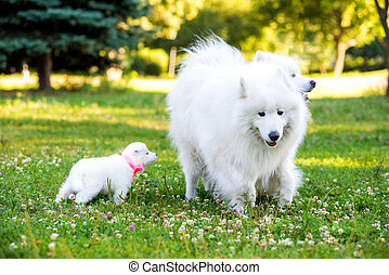 Samoyed puppy and parents - Family of two Samoyed dogs...