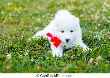 four Samoyed puppy outdoors in summer - funny puppies of...