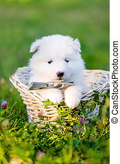 Samoyed puppy in a basket - Samoyed puppies sitting in a...