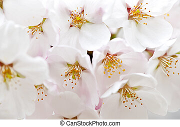 Apple blossoms - Delicate apple tree blossoms in spring...
