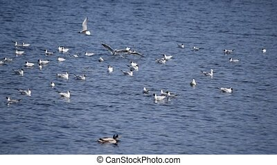 Many seagull birds flying over blue water and alighting on...