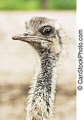 Emu portrait - Dromaius novaehollandiae, close up bird scene...