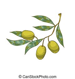 Illustration of Olive branch isolated on the white...