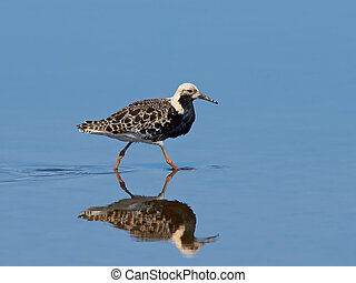 Ruff Philomachus pugnax - Ruff walking in water in its...