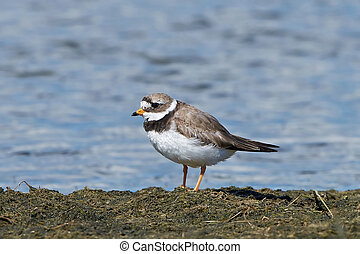 Common ringed plover Charadrius hiaticula - Common ringed...