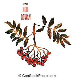 Vector vintage illustration with a red rowan