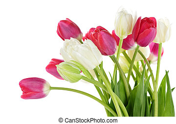Red and white tulips - Red and white spring tulips isolated...