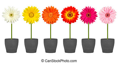 gerbera flower row