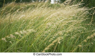 Beautiful long grass moving in wind Meadow grass background...