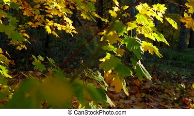 Tree Branches With Multicolored Leaves In Autumnal Forest -...