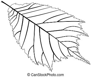 elm,Ulmus glabra, vector, isolated elm leaf,