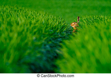 Wild hare in a green field