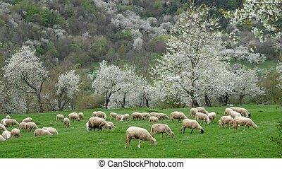 Flock of sheep grazes in a meadow