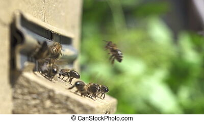 Bees go in and out in the hive - Bees go in and out in the...
