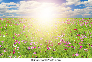Field of Cosmos Flowers and sky with burst light