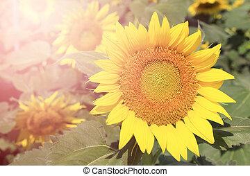 Sunflowers with burst light