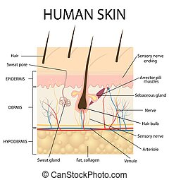 Illustration of human skin anatomy. - Illustration of human...