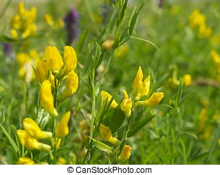 Trefoil in the meadow - Trefoil in a meadow, macro