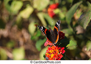 Black butterfly on red flowers