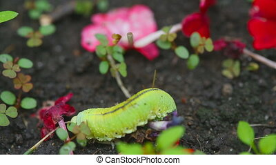 The Birch sawfly larva crawling on the ground - Yellow-green...