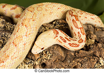 Adult bullsnake - Top view on a 180cm long adult albino...