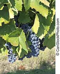 Grapes ready for harvest - bunches of blue grapes hanging on...