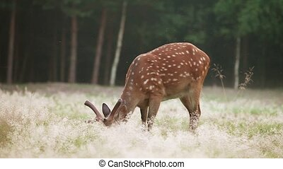 Spotted deer grazing in a forest glade early in the morning