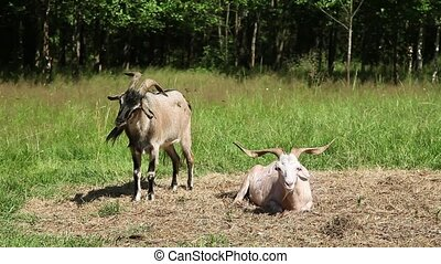 Goats are on the hay - Horny goats lying on the hay in the...