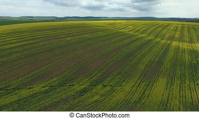 Fields with yellow rape, spring, Aerial view