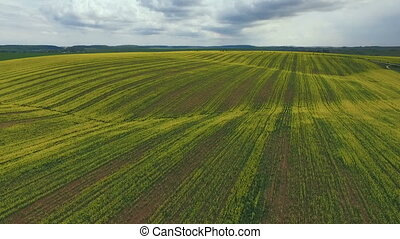 Farmland with blooming Canola, Rape Aerial view - Farmland...