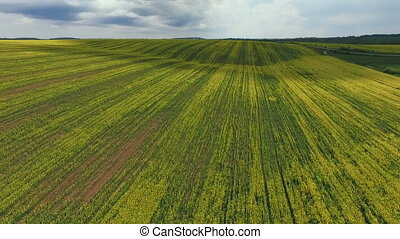 Farmland with blooming Canola, Rape, Spring, Aerial view -...