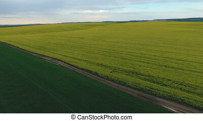 Farmland with blooming Canola, during spring, rape, green field  Aerial view