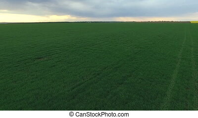 Green wheat fields under sky, plant.Aerial view