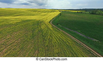 Field with blooming Canola, during spring, rape, green field  Aerial view