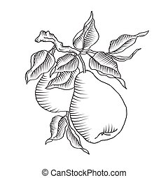 Pear and leaf on the branch Fresh fruit tree - Vector...