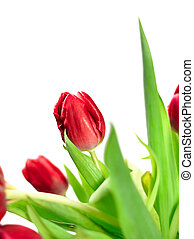 Bouquet of red tulips, isolated on white background.