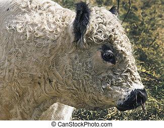 Galloway-Stier - Portrait eines Galloway-Stiers
