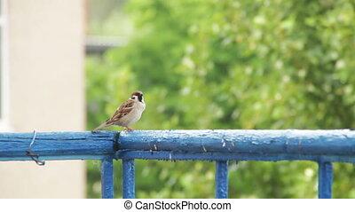 Sparrow Sitting on the Railing of the Balcony - Sparrow...