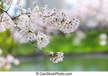 Cereza, flor, con, naturaleza, Plano de fondo