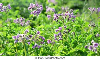 Flowering potatoes in the summer day - A Flowering potatoes...