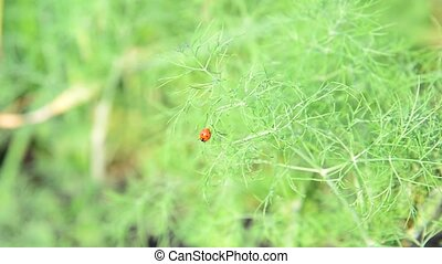 Ladybird on leaves of young dill - Ladybird on leaves of a...