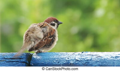 Sparrow Sitting on the Railing of the Balcony - Sparrow...
