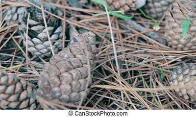 Cones in a Pine Forest. A lot of different big cones,...