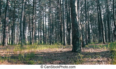Pine Forest and Trees in Summer with Rotation Pine forest...
