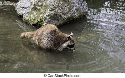 raccoon lokking for food in the water
