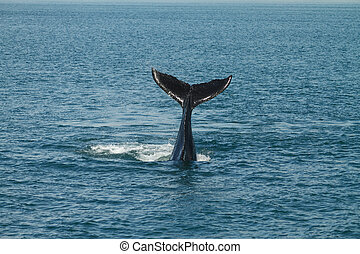 A young Humpback Whale (Megaptera novaeangliae) Waves its...