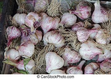 garlic, dug the garlic