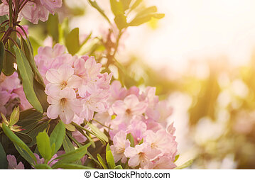 Rhododendron maximum pink flowers - Flowering of fresh...