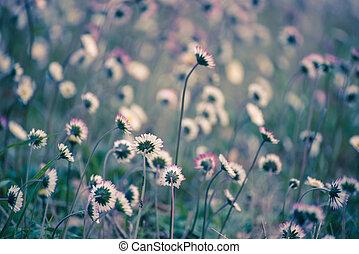 Spring marguerite flower - Spring marguerite daisy flower in...